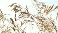 Wheat Field 4 Stock Footage