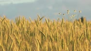 Stock Video Footage of Rye field at sunset