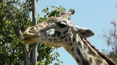 Stock Video Footage of San Diego Zoo 49 giraffe