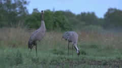 Common Cranes feeding on the morning Stock Footage