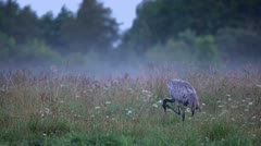 Stock Video Footage of Common Crane on the morning.