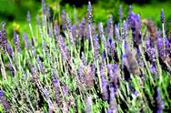 Stock Photo of lavender