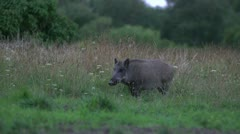 Wild boar feeding. Early morning. Stock Footage