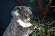 Stock Photo of koala9.jpg