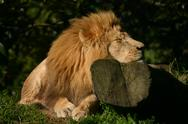 Stock Photo of Lazy Lion.jpg