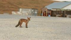 Fox trotting across military base (HD) c Stock Footage