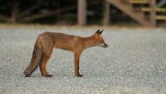 Red fox standing on a road (HD) c Stock Footage