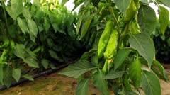 Green pepper bush Stock Footage