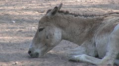 Close-up of a donkey relaxing Stock Footage