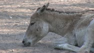 Stock Video Footage of Close-up of a donkey relaxing