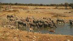 Okakuejo waterhole,Etosha,Namibia.Burchells zebras and Springbok drinking Stock Footage