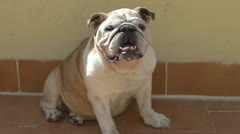 bulldog dog animal canine cute dometic pet - stock footage