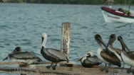 Stock Video Footage of brown pelicans mexico wildlife