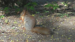 Beautiful squirrel eating Stock Footage