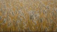 Ripe grain. Stock Footage