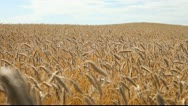 Stock Video Footage of Grain field.