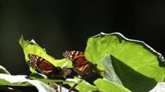 monarch butterfly sanctuary mexico - stock footage