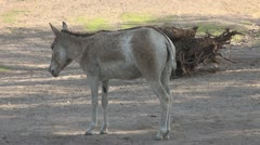 A very cute donkey standing Stock Footage