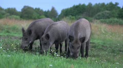Stock Video Footage of Wild boar feeding