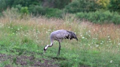 Stock Video Footage of Common Crane feeding