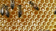 Bees on Honeycels Stock Footage