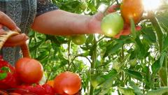 Farmer Hand Picking Ripe Tomato in Vegetable Garden Stock Footage