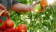 Stock Video Footage of Farmer Hand Picking Ripe Tomato in Vegetable Garden