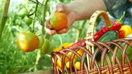 Fresh Vegetables in a Backyard Garden Stock Footage