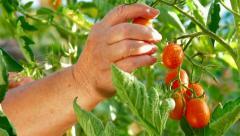 Female Gardener Picking Ripe Plum Tomato in Vegetable Garden Stock Footage