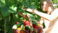 Stock Video Footage of Child Harvesting Fresh Vegetable in the Garden