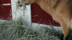 Pigmy goat eats Stock Footage