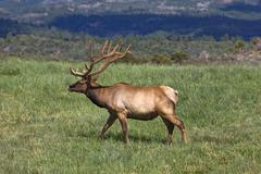 Elk Bull in meadow Colorado mountain valley 2709.jpg - stock photo