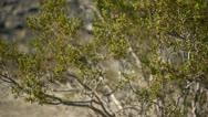 Pan of Bush at Joshua Tree National Park Stock Footage
