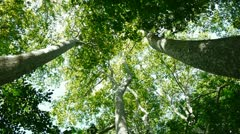 forest canopy from below - stock footage