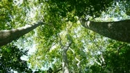 Forest canopy from below Stock Footage