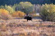 Stock Photo of Moose Bull walking away 3331.jpg