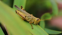 Grasshopper Eating Stock Footage