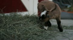 Baby pigmy goat Stock Footage