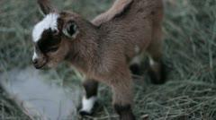 Baby pigmy goat cu Stock Footage
