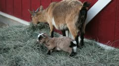 Baby pigmy goat 2 Stock Footage