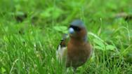 Stock Video Footage of Redstart
