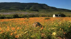 Flower season,Biedouw Valley,Western Cape,South Africa Stock Footage