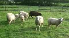 Sheeps on a green meadow - stock footage