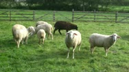 Stock Video Footage of Sheeps on a green meadow