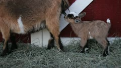 baby pigmy goat hop - stock footage