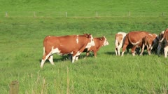 Group of brown cows at pasture Stock Footage