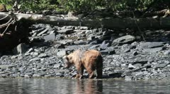 Kodiak bears Stock Footage