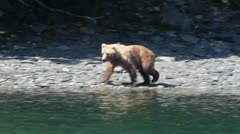 Kodiak bears Stock Footage