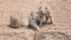Prairie Dogs 1 - stock footage