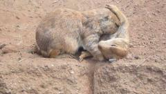 Prairie Dogs 2 Stock Footage